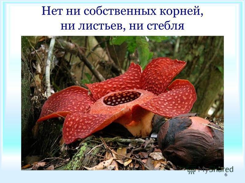 Нет ни собственных корней, ни листьев, ни стебля 6