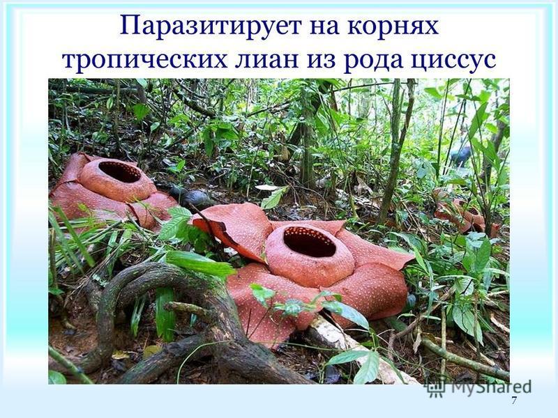 Паразитирует на корнях тропических лиан из рода циссус 7