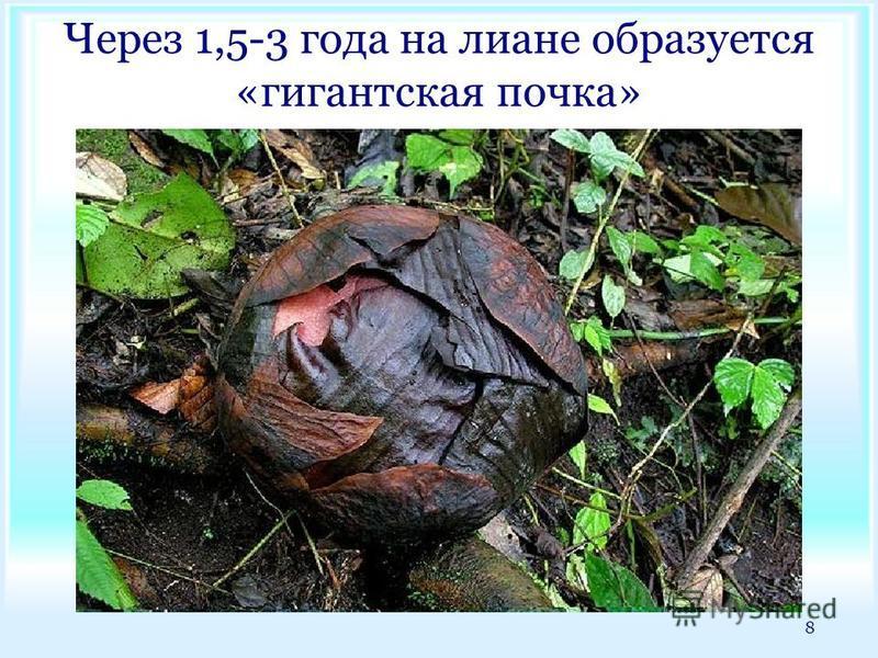Через 1,5-3 года на лиане образуется «гигантская почка» 8