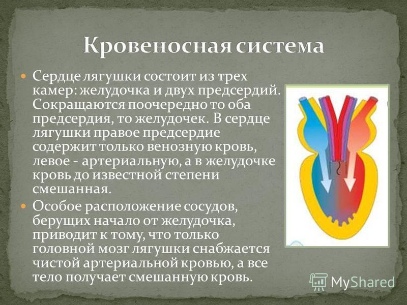 Сердце лягушки состоит из трех камер: желудочка и двух предсердий. Сокращаются поочередно то оба предсердия, то желудочек. В сердце лягушки правое предсердие содержит только венозную кровь, левое - артериальную, а в желудочке кровь до известной степе