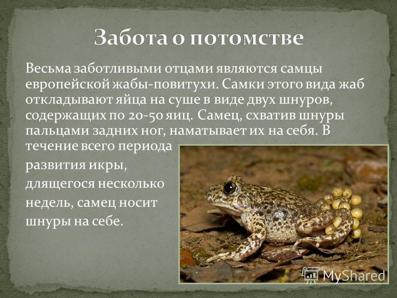 Весьма заботливыми отцами являются самцы европейской жабы-повитухи. Самки этого вида жаб откладывают яйца на суше в виде двух шнуров, содержащих по 20-50 яиц. Самец, схватив шнуры пальцами задних ног, наматывает их на себя. В течение всего периода ра