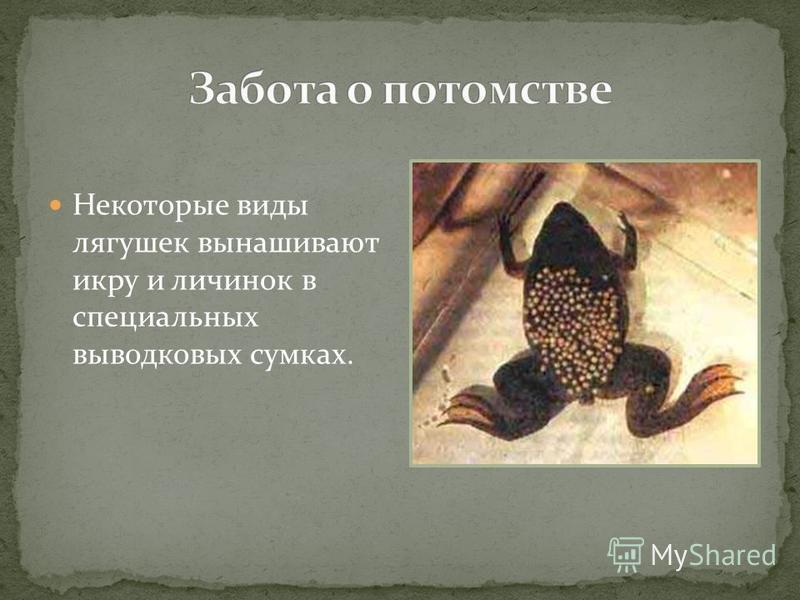 Некоторые виды лягушек вынашивают икру и личинок в специальных выводковых сумках.