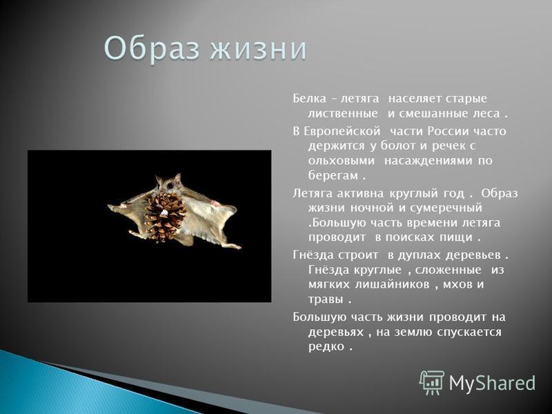 Белка – летяга населяет старые лиственные и смешанные леса. В Европейской части России часто держится у болот и речек с ольховыми насаждениями по берегам. Летяга активна круглый год. Образ жизни ночной и сумеречный.Большую часть времени летяга провод