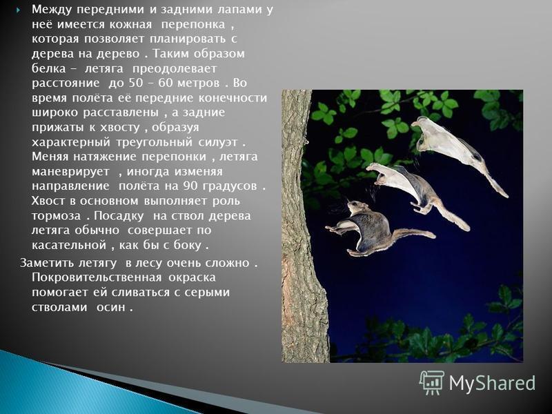 Между передними и задними лапами у неё имеется кожная перепонка, которая позволяет планировать с дерева на дерево. Таким образом белка - летяга преодолевает расстояние до 50 – 60 метров. Во время полёта её передние конечности широко расставлены, а за