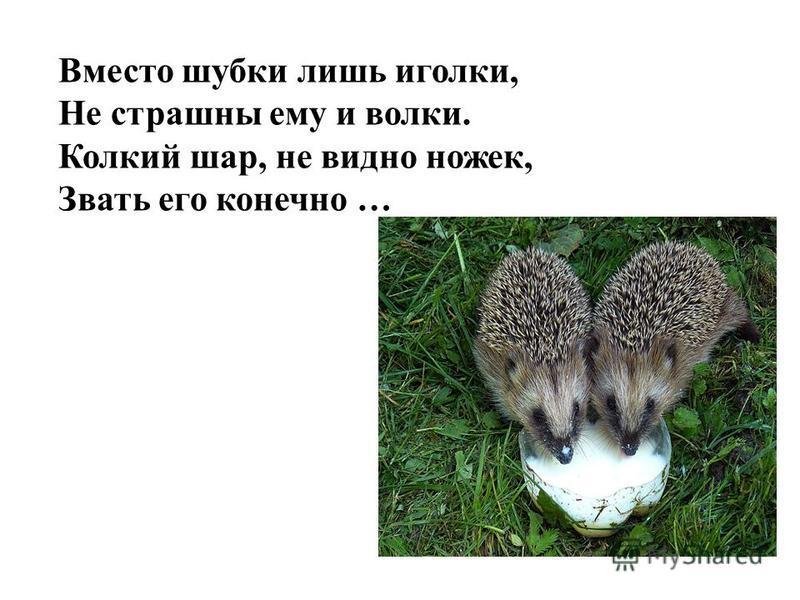 Вместо шубки лишь иголки, Не страшны ему и волки. Колкий шар, не видно ножек, Звать его конечно …