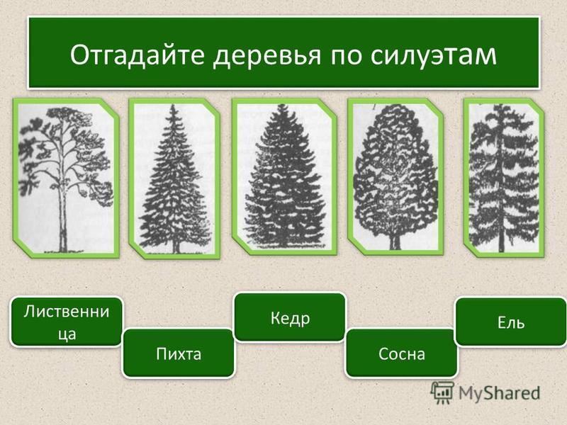 Отгадайте деревья по силуэт там Лиственни ца Пихта Кедр Сосна Ель