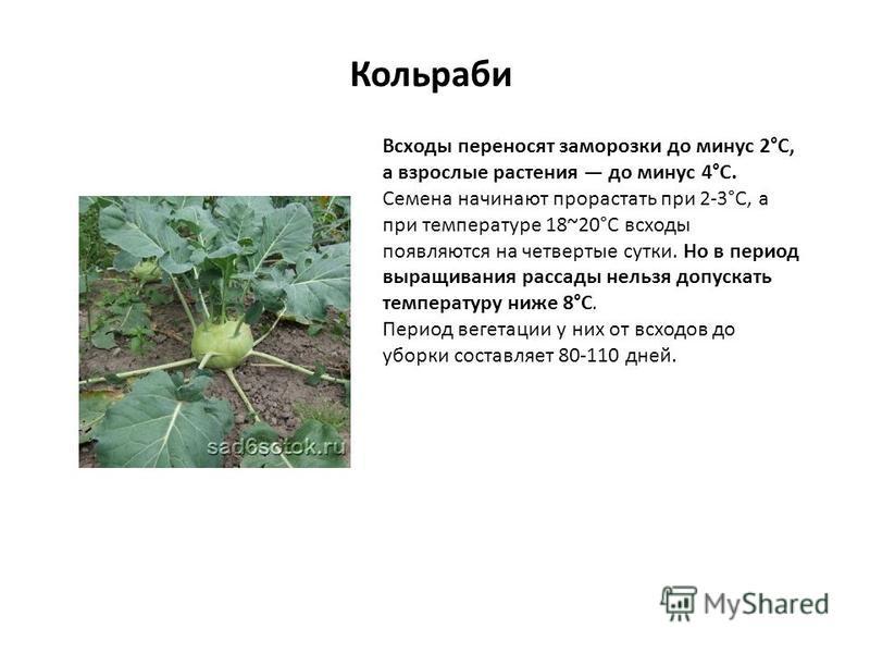 Кольраби Всходы переносят заморозки до минус 2°С, а взрослые растения до минус 4°С. Семена начинают прорастать при 2-3°С, а при температуре 18~20°С всходы появляются на четвертые сутки. Но в период выращивания рассады нельзя допускать температуру ниж