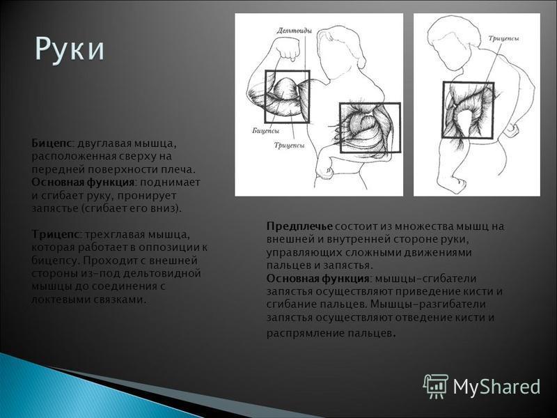 Бицепс: двуглавая мышца, расположенная сверху на передней поверхности плеча. Основная функция: поднимает и сгибает руку, бронирует запястье (сгибает его вниз). Трицепс: трехглавая мышца, которая работает в оппозиции к бицепсу. Проходит с внешней стор