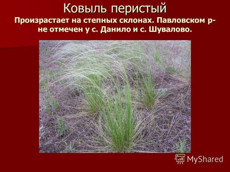 Ковыль перистый Ковыль перистый Произрастает на степных склонах. Павловском р- не отмечен у с. Данило и с. Шувалово.
