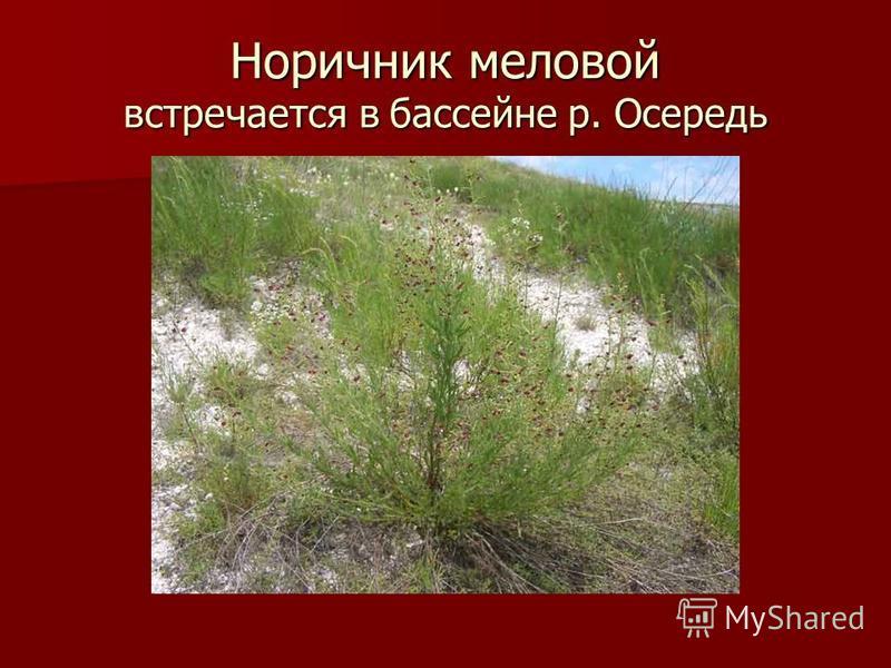 Норичник меловой встречается в бассейне р. Осередь