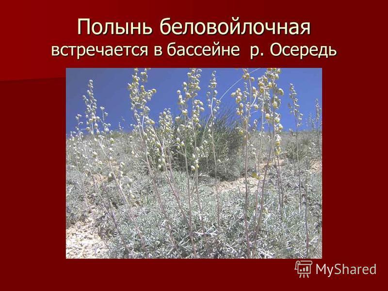 Полынь беловойлочная встречается в бассейне р. Осередь