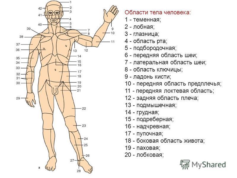 Области тела человека: 1 - теменная; 2 - лобная; 3 - глазница; 4 - область рта; 5 - подбородочная; 6 - передняя область шеи; 7 - латеральная область шеи; 8 - область ключицы; 9 - ладонь кисти; 10 - передняя область предплечья; 11 - передняя локтевая
