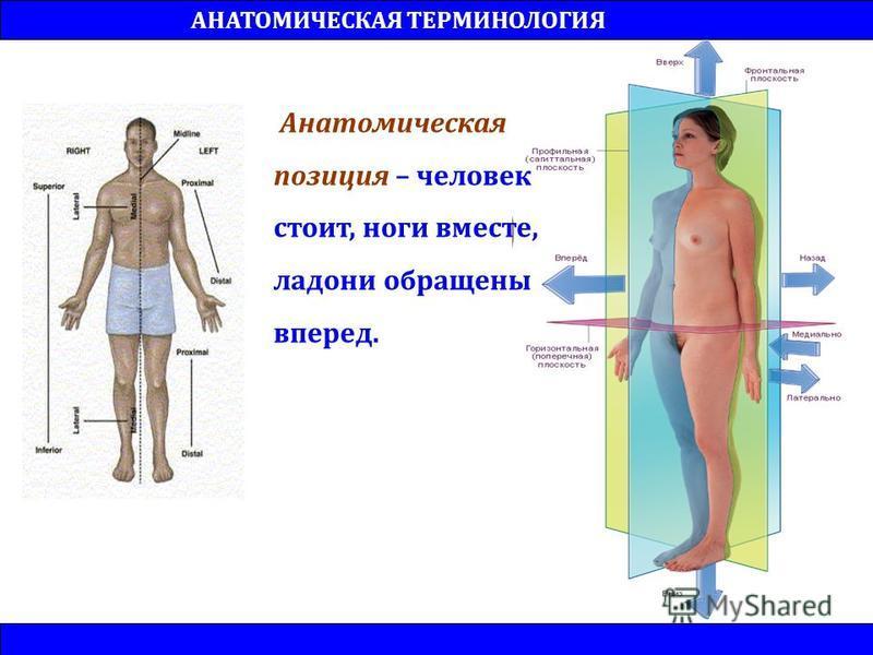Анатомическая позиция – человек стоит, ноги вместе, ладони обращены вперед. АНАТОМИЧЕСКАЯ ТЕРМИНОЛОГИЯ