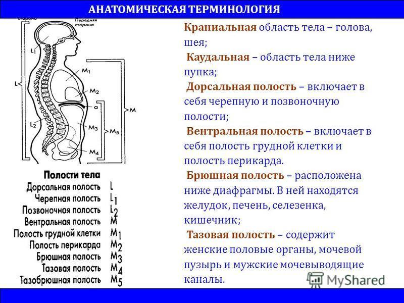 Краниальная область тела – голова, шея; Каудальная – область тела ниже пупка; Дорсальная полость – включает в себя черепную и позвоночную полости; Вентральная полость – включает в себя полость грудной клетки и полость перикарда. Брюшная полость – рас