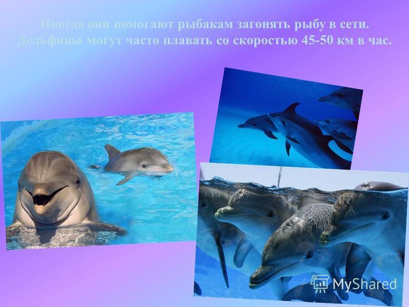 Иногда они помогают рыбакам загонять рыбу в сети. Дельфины могут часто плавать со скоростью 45-50 км в час.