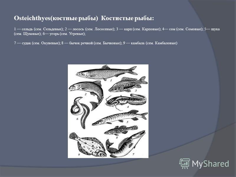 Osteichthyes(костные рыбы) Костистые рыбы: 1 сельдь (сем. Сельдевые); 2 лосось (сем. Лососевые); 3 карп (сем. Карповые); 4 сом (сем. Сомовые); 5 щука (сем. Щуковые); 6 угорь (сем. Угревые); 7 судак (сем. Окуневые); 8 бычок речной (сем. Бычковые); 9 к