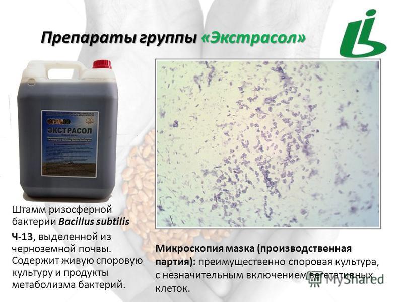 Штамм ризосферной бактерии Bacillus subtilis Ч-13, выделенной из черноземной почвы. Содержит живую споровую культуру и продукты метаболизма бактерий. Препараты группы «Экстрасол» Микроскопия мазка (производственная партия): преимущественно споровая к