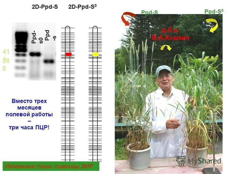 ВИР Ppd-S Ppd-S 0 2D-Ppd-S 2D-Ppd-S 0 41 4 28 8 Ppd -s Ppd- s0 Изогенные линии пшеницы ВИР Вместо трех месяцев полевой работы – три часа ПЦР! д.б.н. В.А.Кошкин