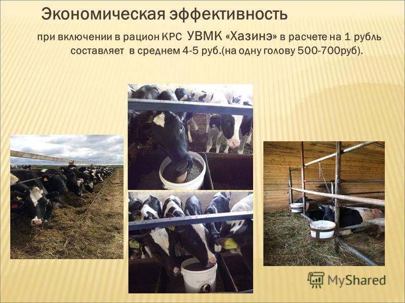 Экономическая эффективность при включении в рацион КРС УВМК «Хазинэ» в расчете на 1 рубль составляет в среднем 4-5 руб.(на одну голову 500-700 руб).