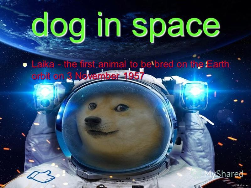 dog in space Laika - the first animal to be bred on the Earth orbit on 3 November 1957 Laika - the first animal to be bred on the Earth orbit on 3 November 1957