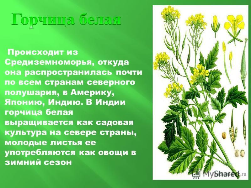 Происходит из Средиземноморья, откуда она распространилась почти по всем странам северного полушария, в Америку, Японию, Индию. В Индии горчица белая выращивается как садовая культура на севере страны, молодые листья ее употребляются как овощи в зимн