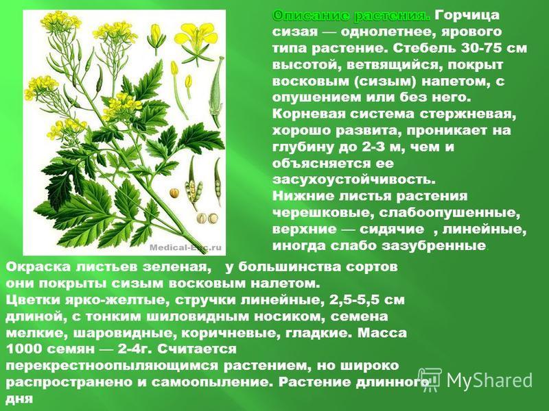 Окраска листьев зеленая, у большинства сортов они покрыты сизым восковым налетом. Цветки ярко-желтые, стручки линейные, 2,5-5,5 см длиной, с тонким шиловидным носиком, семена мелкие, шаровидные, коричневые, гладкие. Масса 1000 семян 2-4 г. Считается