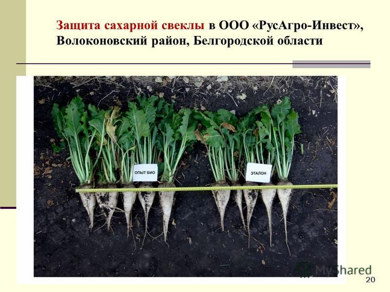 12 Защита сахарной свеклы в ООО «Рус Агро-Инвест», Волоконовский район, Белгородской области 20