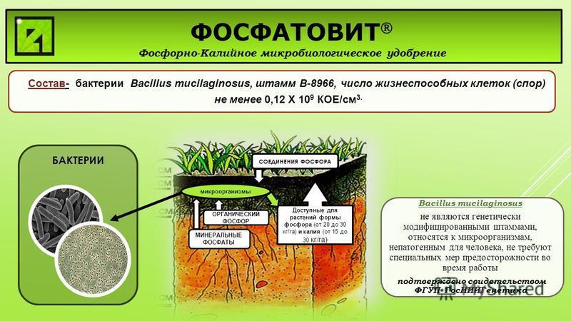БАКТЕРИИ Доступные для растений формы фосфора (от 20 до 30 кг/га) и калия (от 15 до 30 кг/га) СОЕДИНЕНИЯ ФОСФОРА микроорганизмы ФОСФАТОВИТ Фосфорно-Калийное микробиологическое удобрение Состав- бактерии Bacillus mucilaginosus, штамм В-8966, число жиз