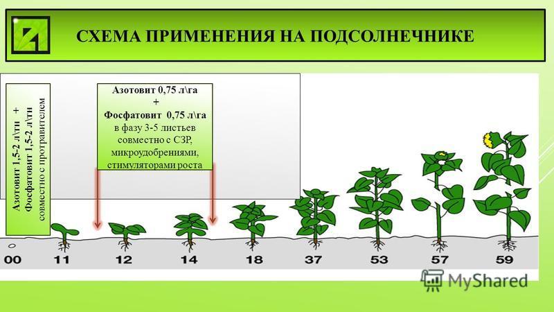 СХЕМА ПРИМЕНЕНИЯ НА ПОДСОЛНЕЧНИКЕ Азотовит 1,5-2 л\тн + Фосфатовит 1,5-2 л\тн совместно с протравителем Азотовит 0,75 л\га + Фосфатовит 0,75 л\га в фазу 3-5 листьев совместно с СЗР, микроудобрениями, стимуляторами роста