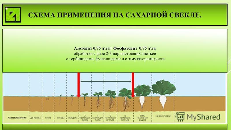 СХЕМА ПРИМЕНЕНИЯ НА САХАРНОЙ СВЕКЛЕ. Азотовит 0,75 л\га+ Фосфатовит 0,75 л\га обработка с фаза 2-3 пар настоящих листьев с гербицидами, фунгицидами и стимуляторами роста