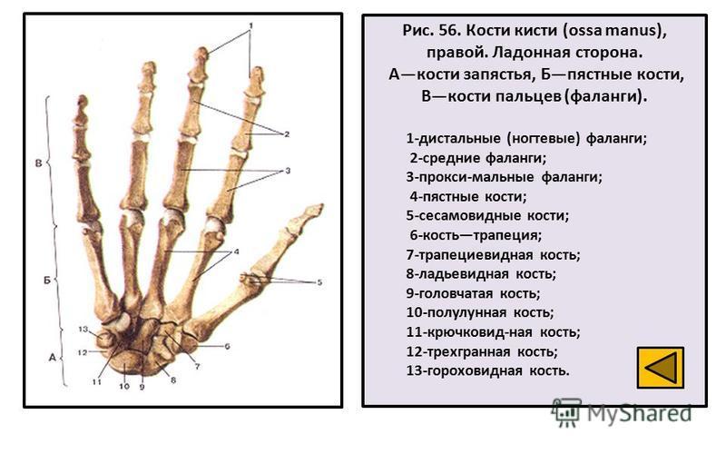 Рис. 56. Кости кисти (ossa manus), правой. Ладонная сторона. Акости запястья, Бпястные кости, Вкости пальцев (фаланги). 1-дистальные (ногтевые) фаланги; 2-средние фаланги; 3-прокси-мальные фаланги; 4-пястные кости; 5-сесамовидные кости; 6-костьтрапец
