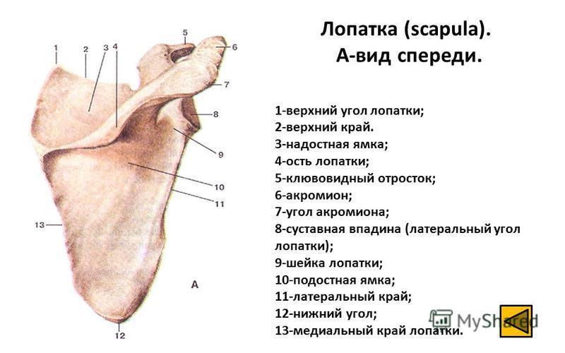 Лопатка (scapula). А-вид спереди. 1-верхний угол лопатки; 2-верхний край. 3-надостная ямка; 4-ость лопатки; 5-клювовидный отросток; 6-акромион; 7-угол акромиона; 8-суставная впадина (латеральный угол лопатки); 9-шейка лопатки; 10-подостная ямка; 11-л