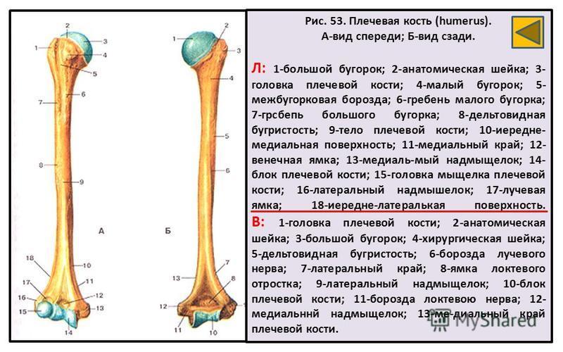 Рис. 53. Плечевая кость (humerus). А-вид спереди; Б-вид сзади. Л: 1-большой бугорок; 2-анатомическая шейка; 3- головка плечевой кости; 4-малый бугорок; 5- межбугорковая борозда; 6-гребень малого бугорка; 7-грсбепь большого бугорка; 8-дельтовидная буг
