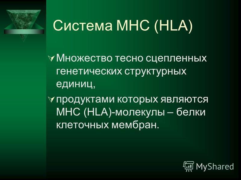 Система MHC (HLA) Множество тесно сцепленных генетических структурных единиц, продуктами которых являются MHC (HLA)-молекулы – белки клеточных мембран.