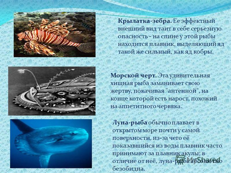 Крылатка-зебра. Ее эффектный внешний вид таит в себе серьезную опасность - на спине у этой рыбы находится плавник, выделяющий яд такой же сильный, как яд кобры. Морской черт. Эта удивительная хищная рыба заманивает свою жертву, покачивая