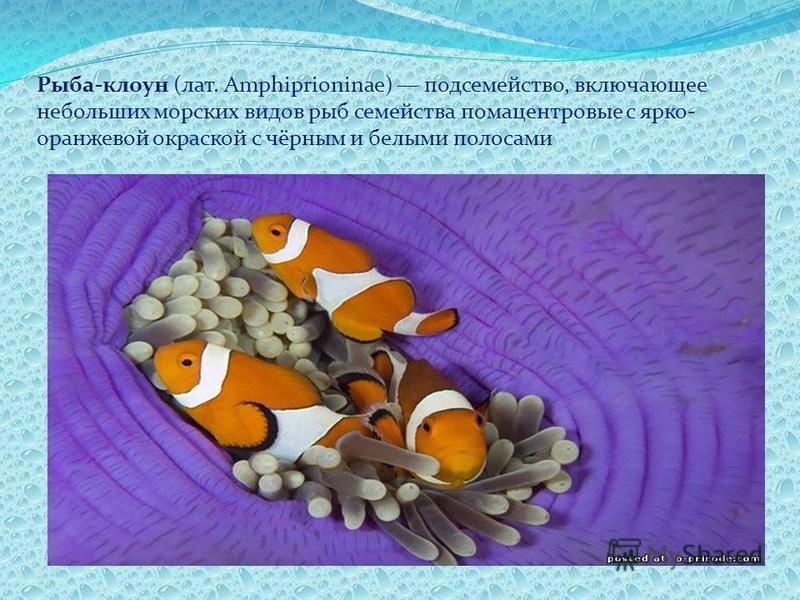 Рыба-клоун (лат. Amphiprioninae) подсемейство, включающее небольших морских видов рыб семейства помацентровые с ярко- оранжевой окраской с чёрным и белыми полосами