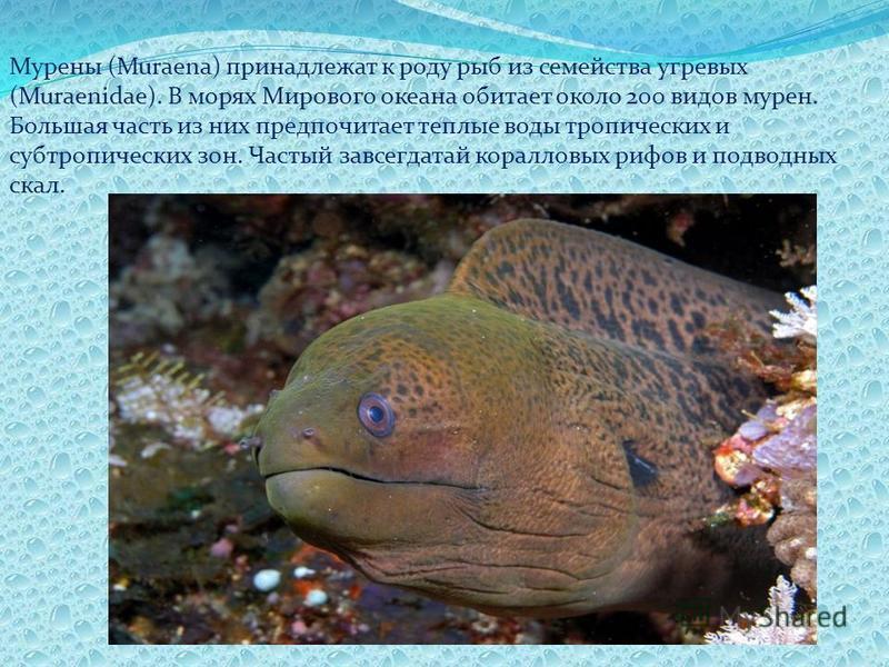 Мурены (Muraena) принадлежат к роду рыб из семейства угревых (Muraenidae). В морях Мирового океана обитает около 200 видов мурен. Большая часть из них предпочитает теплые воды тропических и субтропических зон. Частый завсегдатай коралловых рифов и по