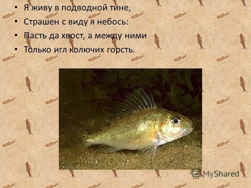 Я живу в подводной тине, Страшен с виду я небось: Пасть да хвост, а между ними Только игл колючих горсть.