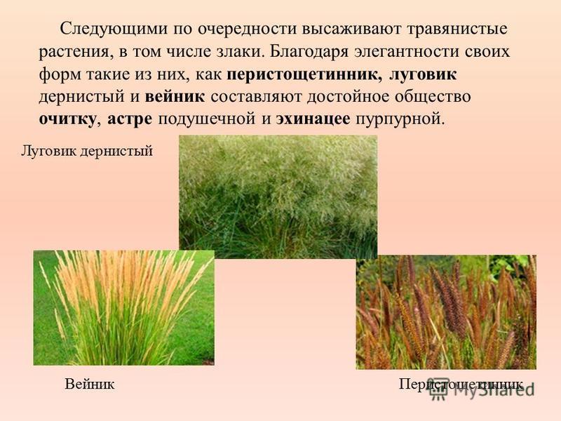 Следующими по очередности высаживают травянистые растения, в том числе злаки. Благодаря элегантности своих форм такие из них, как перистощетинник, луговик дернистый и вейник составляют достойное общество очитку, астре подушечной и эхинацее пурпурной.