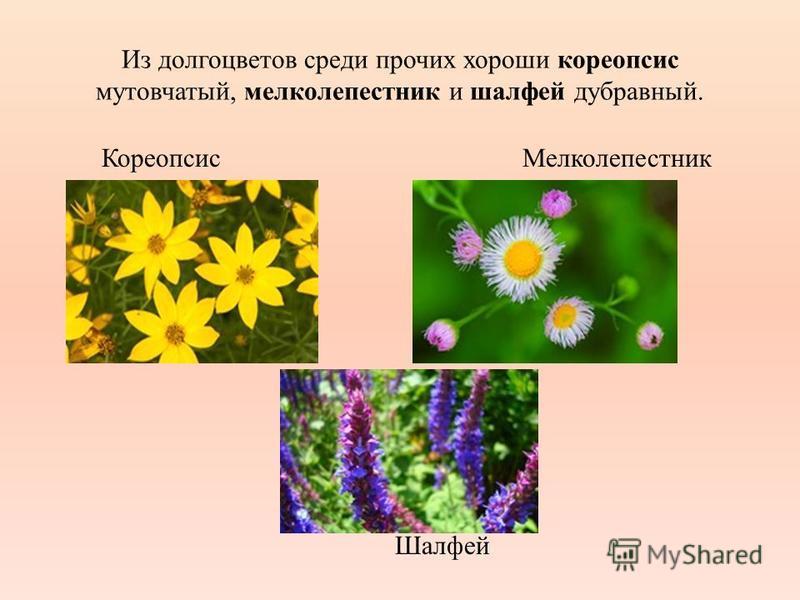 Из долго цветов среди прочих хороши кореопсис мутовчатый, мелколепестник и шалфей дубравный. Кореопсис Мелколепестник Шалфей