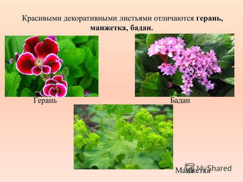 Красивыми декоративными листьями отличаются герань, манжетка, бадан. Герань Бадан Манжетка