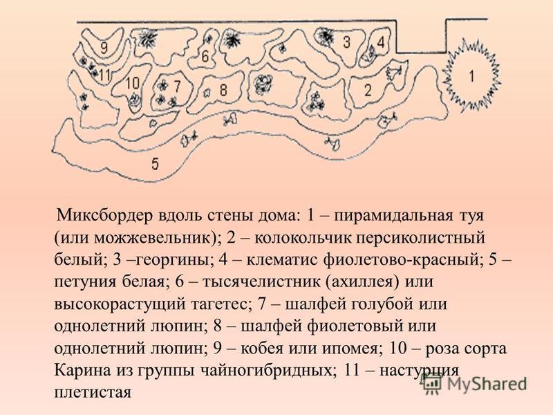 Миксбоордер вдоль стены дома: 1 – пирамидальная туя (или можжевельник); 2 – колокольчик персиколистный белый; 3 –георгины; 4 – клематис фиолетово красный; 5 – петуния белая; 6 – тысячелистник (ахиллея) или высокорастущий тагетес; 7 – шалфей голубой и