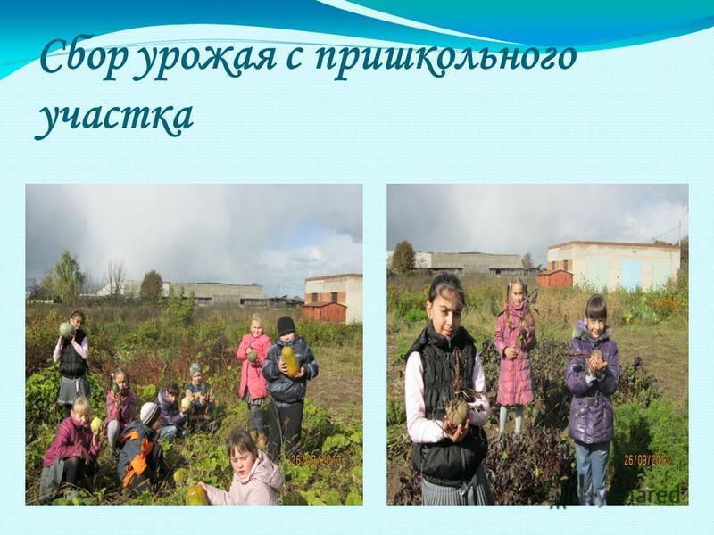 Сбор урожая с пришкольного участка