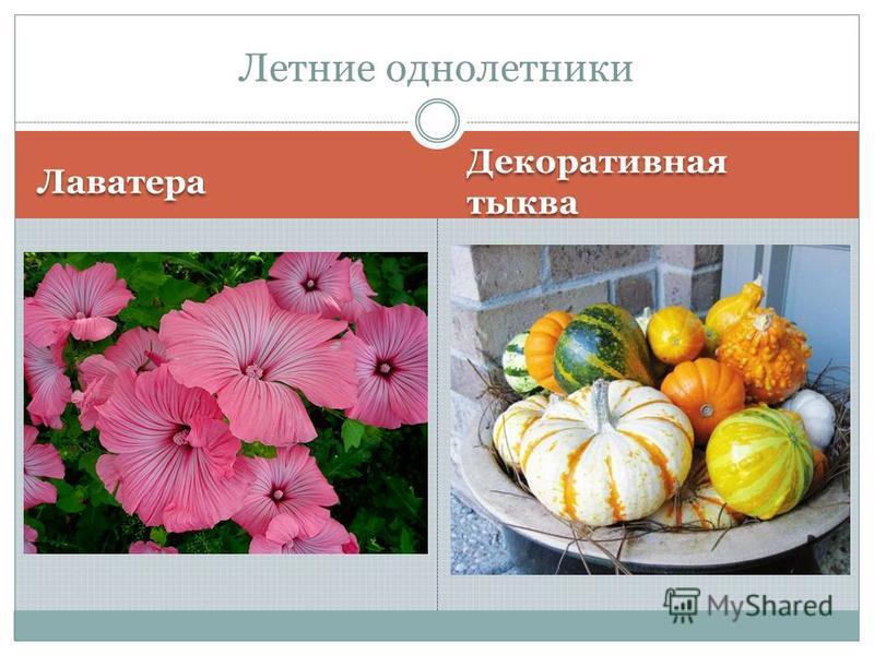 Лаватера Декоративная тыква Летние однолетники