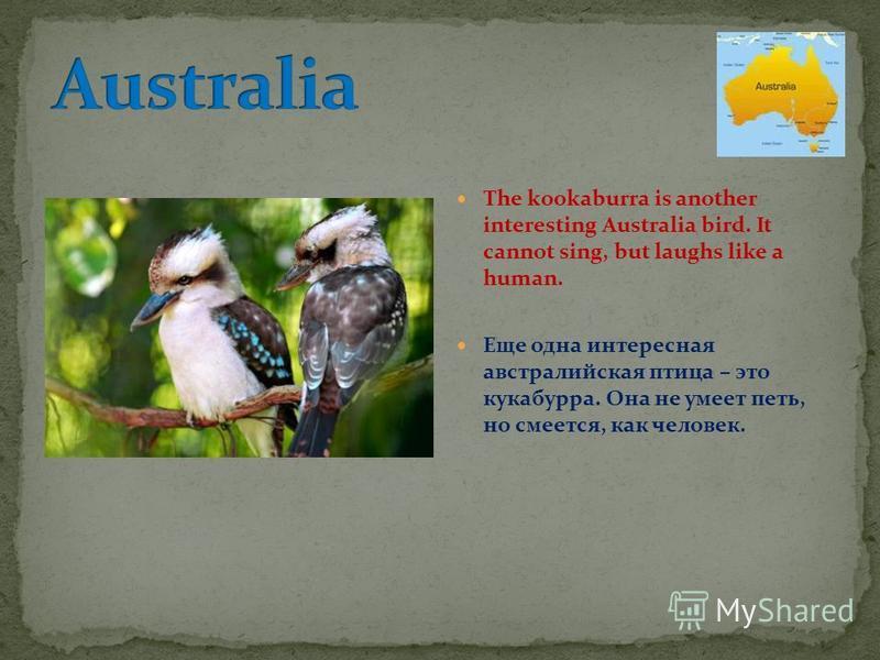 The kookaburra is another interesting Australia bird. It cannot sing, but laughs like a human. Еще одна интересная австралийская птица – это кукабурра. Она не умеет петь, но смеется, как человек.