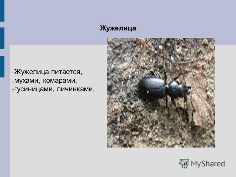 Жужелица Жужелица питается, мухами, комарами, гусеницами, личинками.