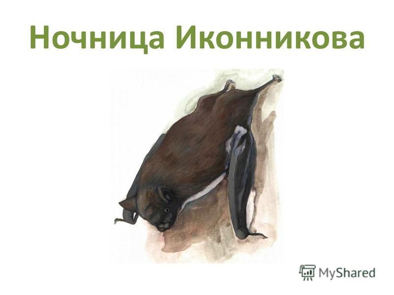 Ночница Иконникова