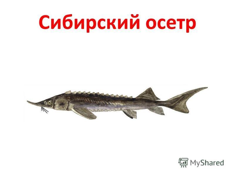 Сибирский осетр