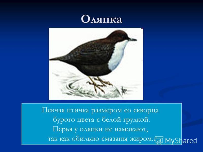Оляпка Певчая птичка размером со скворца бурого цвета с белой грудкой. Перья у оляпки не намокают, так как обильно смазаны жиром.