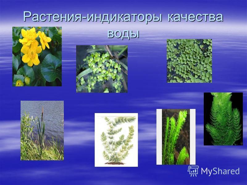 Растения-индикаторы качества воды
